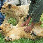 Lovely lion cubs Nov 27 2013