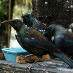 Tui at feeder St Arnaud house