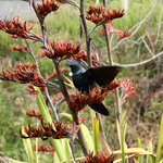 Tui feeding on flax,