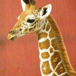 Baby giraffe at Gulf Breeze Zoo