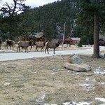 Elk roam the property