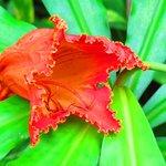 African Tulip