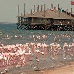 Resident Flamingoes