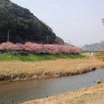 旅館の近くの桜並木