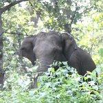 A lone elephant grazing