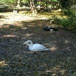 Dickerson Park Zoo Swan