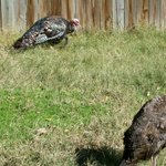 Dickerson Park Zoo Turkeys