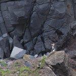 Hoiho (Yellow eyed penguin)