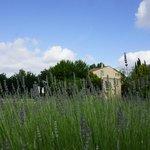 Beginning of Lavender season