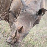 Rhino in Mokolodi Nature Reserve