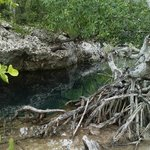 Mangrove with tree roots