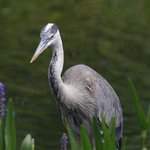 blue heron in a pond