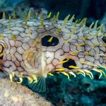 Other worldly spikey puffer thingy