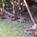 the Coatis our regular breakfast buddies