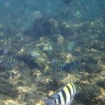 Underwater at Poipu Beach - mostly convict tang