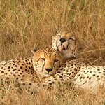 cheetahs on game drive