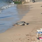 a turtle chilling on beach right by our condo