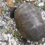 Cabbage Key tortoise