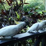 Cockatoos on the terrace