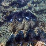 Huge Tridacna Clam colony