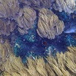 Huge Tridacna Clam