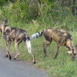 Wilddogs at Hluhluwe