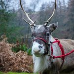 Reindeer on Boxing Day