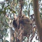 Koala in a tree 2
