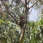 another koala in a tree