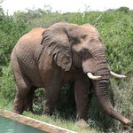 Elephant visiting the pool!!