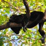 Howler Monkey in tree outside room