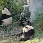 Pandas in the Reserve