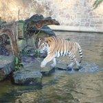 grote tijger
