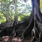 Moreton Bay Fig Trees--as seen in the 1st Jurassic Park movie!