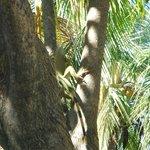 Iguana in tree.
