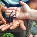 the local friendly tarantulas :)