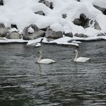 A couple of swans on  a winters day