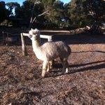 Llama on property