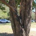Bobbin Head Lizard