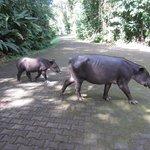 Wild Tapir and Baby