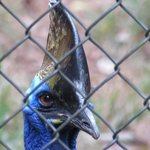 Double-wattled Cassowary.