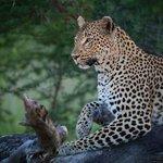 Londolozi Leopard