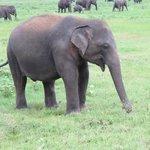Kaudulla Park elephant