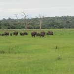 Elephants on the lake flood plain