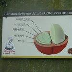semilla de café