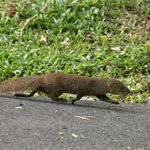 Mongoose on the move