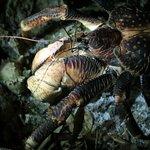 Coconut crab (Birgus latro)