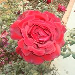Rose plantations around the reception area