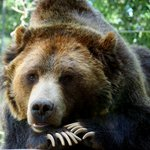 Grizzley Bear at rest