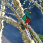 Quetzal in the tree
